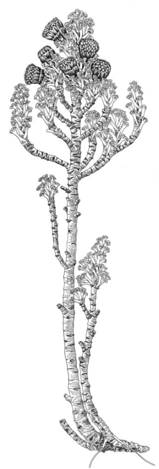 Xenophyllum_Funk