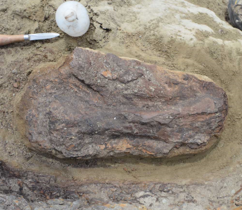 The limb bone of a small dinosaur, partially excavated ad ready for jacketing.
