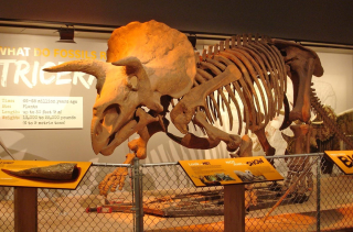 "The skeleton of a Triceratops in the ""Last American Dinosaurs"" Exhibit at the National Museum of Natural History."