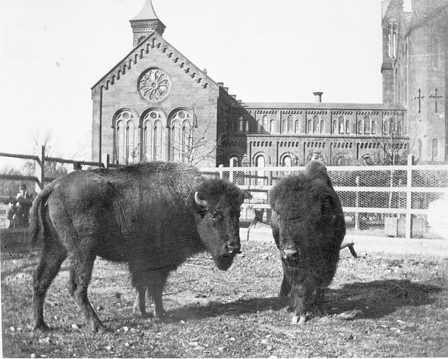 """Buffalo Behind Smithsonian Institution Building"" ca. 1886-1889."