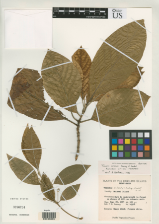 Specimen of Timonius salsedoi collected by Ray Fosberg in 1965 from Malakal Island, Palau.