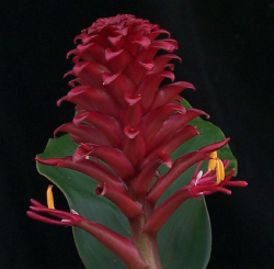 Hedychium bordelonianum W.J.Kress & K.J.Williams, an epiphytic ginger with bright red flowers, was named in Mike Bordelon's honor. (photo by Leslie Brothers)