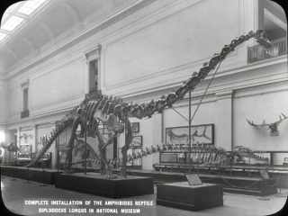 The completed mount of Diplodocus standing on display in the fossil exhibit hall.