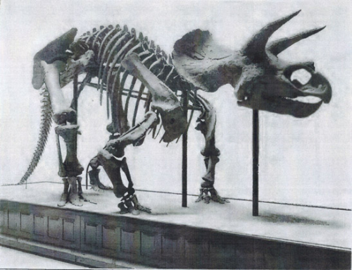 1905 photo of Boss's mounted skeleton of Triceratops