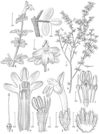 Raveniopsis sp nov (illustrated by Alice Tangerini)