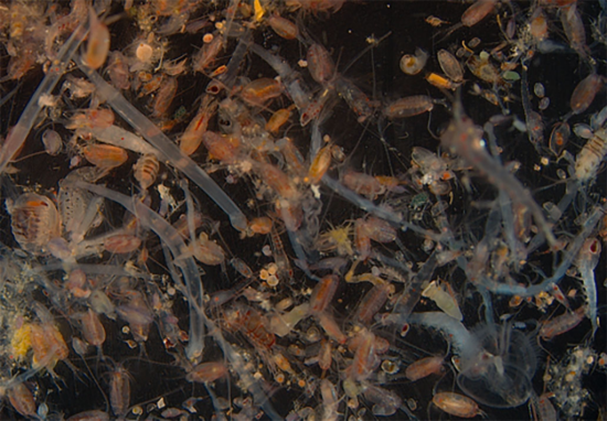 Mixed plankton sample showing a broad diversity and abundance of Gulf Stream animal forms.