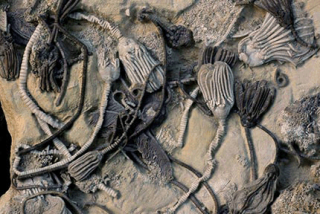 Crinoid_fossils