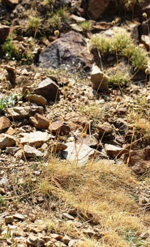 Alopecurus goekyigitiana in the central Taurus Mountains of Turkey. (photo by Evren Cabi)