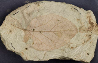 Fossil specimen of Grewiopsis saportana Lesquereux from the Hell Creek Formation. (image courtesy of the Smithsonian's Department of Paleobiology Collections)