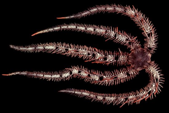 A typical brittle star. From Hendler, G.  et al. 1995.  Sea stars, sea urchins and allies.  Smithsonian press.