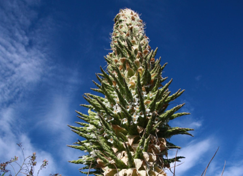 Queen of the Andes, Puya raimondii, in flower on July 8, 2014, at the University of California Botanical Garden at Berkeley. (photo by Paul Licht)