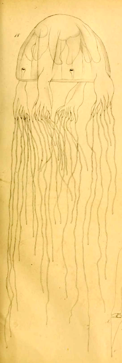Mueller_1859_Chiropsalmus-quadrumanus