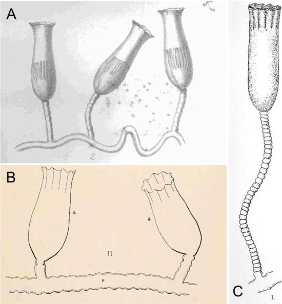 Original drawings of Campanularia crenata Allman, 1876 (A), Campanularia speciosa Clark, 1877 (B) and Campanularia magnifica Fraser, 1913 (C).