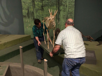 The pleistocene antelope is carried off exhibit.