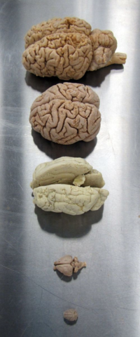 Brains!  Small to large: vampire bat, rabbit, lion, chimpanzee, camel.   Credit: Diane Pitassy, Smithsonian Institution.