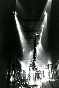 Diplodocus during renovation in the early 1960s