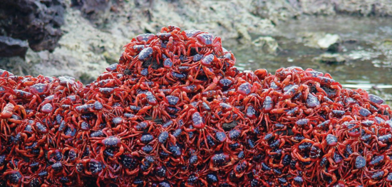 Red crab migration, Christmas Island National Park. (Credit: Max Orchard, Parks Australia)