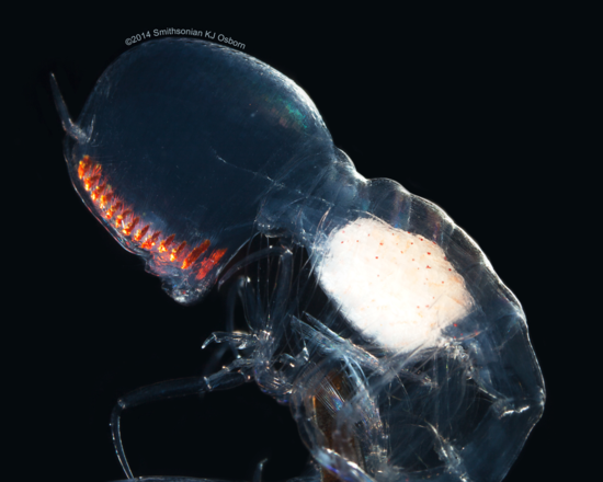 Lateral view of anterior body showing the length of the light guides (fiber optic like tissue that passes photos from the facets to the retinas).