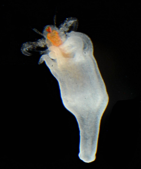 Juvenile polyp of the upside-down jellyfish feeding on a brine shrimp (Artemia) larva.