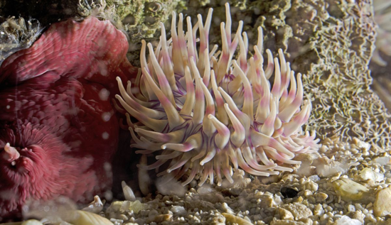 The anemone Urticina sp., which IZ inherited from the National Zoo's invertebrate house when it closed.