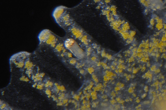 Close up of the margin of the upside-down jellyfish showing one of its statocysts (slightly orange). The yellow granular structures are the photosynthetic symbiotic algae, from which the jellyfish obtains nutrients.