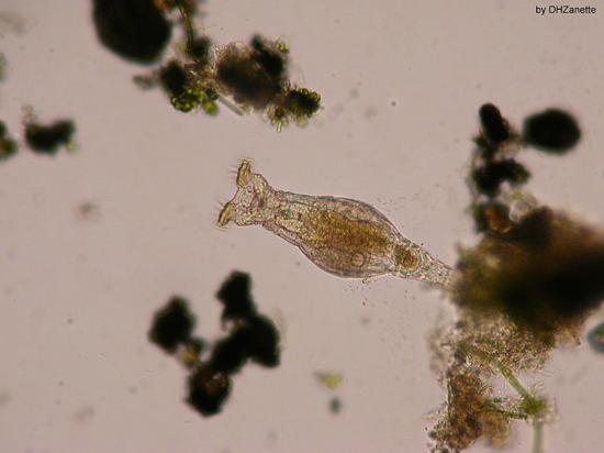 Vista lateral de un rotífero bdelloideo (Damian H. Zanette, Wikimedia Commons)