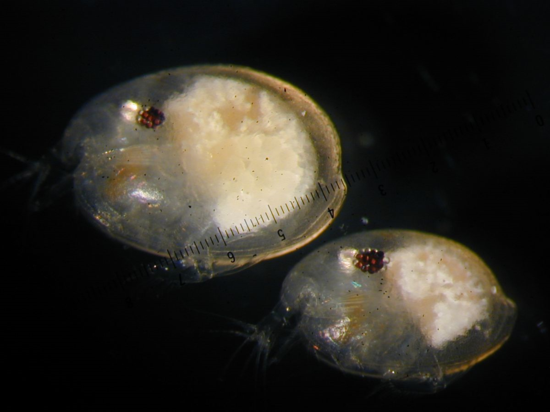 A female (top left) and male Photerus annecohenae. Note that females are larger than males (sexual dimorphism) and that males have bigger eyes [1]. (Credit: Jim G. Morin).