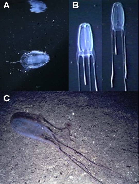 Alatina alata in situ images, from Lewis et al. 2013