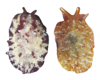 Figure 1. Pleurobranchus varians from the Hawaiian Islands (left) and Vanuatu (right)