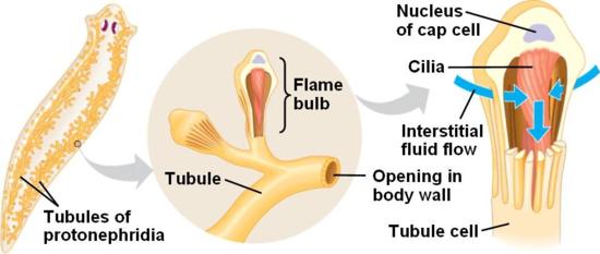nefridiopore platyhelminthes a condyloma szokatlan kezelése