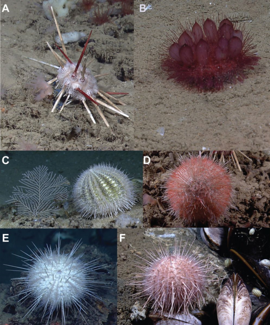 Gulf of Mexico deep-sea echinoids in situ. (A) Cidaris rugosa, (B) Phormosoma pla¬centa, (C) Gracilechinus gracilis, (D) Gracilechinus tylodes, (E) Gracilechinus affinis, (F) Gracilechinus alexandri.