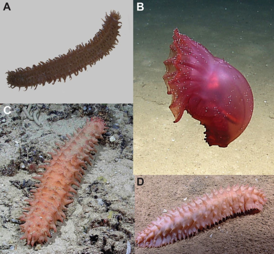 Gulf of Mexico deep-sea holothurians in situ. (A–C) Benthothuria funebris, (D, E) Oloughlinius ?n.sp., (F–H) ?Pseudostichopus sp., (I) Paroriza ?n.sp., (J) Benthodytes abyssicola