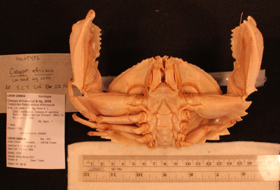 Ventral view of the holotype of Calappa africana.