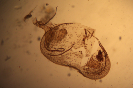 Holotype of Ostracod Candona patzcuaro, USNM 96047, partially crushed for dissection (using a compound microscope and digital camera tube attachment).