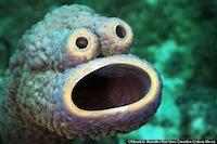La esponja Monstruo Come Galletas (probablemente Aplysina lacunosa) por Mauricio Handler.