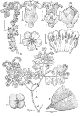 Heliotropium perlmanii Lorence & W.L. Wagner