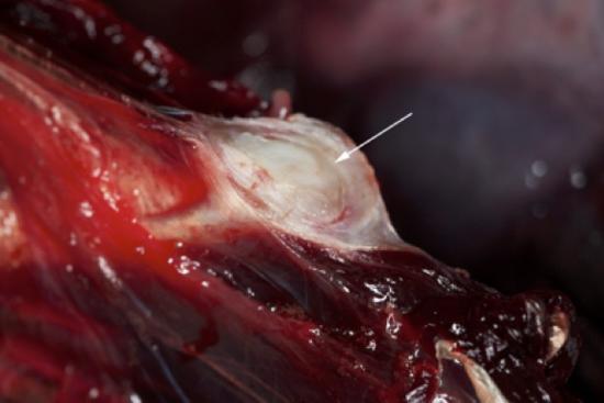 Tenias larvales (metacestodos) enquistadas en los músculos de la pared abdominal de la cavidad del cuerpo de la orca pigmea (Feresa attentuata). La flecha blanca apunta hacia el quiste saliendo entre las fibras musculares.