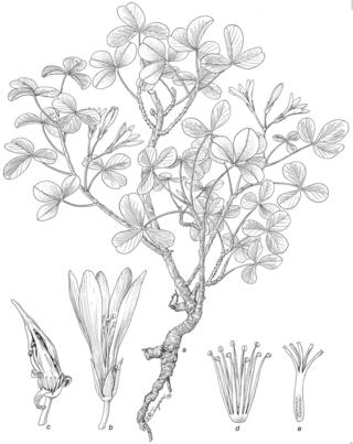 Oxalis gagneorum 1706