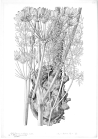 Flowering branch of Leptotaenia multifida (Apiaceae) by Frederick A. Walpole. Brush and ink. June 24, 1893.