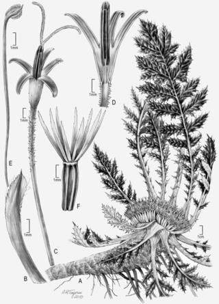 """Platycarpha glomerata"" by Alice Tangerini"