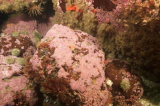 Boulder with 200-year-old Clathromorpum compactum crust at 20 m depth on the southern Labrador coast. The sea urchins are 50-70 mm in diameter. (Photo by Nick Caloyianis)