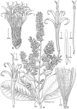 Moquinia racemosa