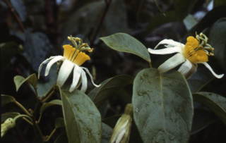 Passiflora kawensis Feuillet from Montagnes de Kaw, French Guiana. (Photo by Christian Feuillet)