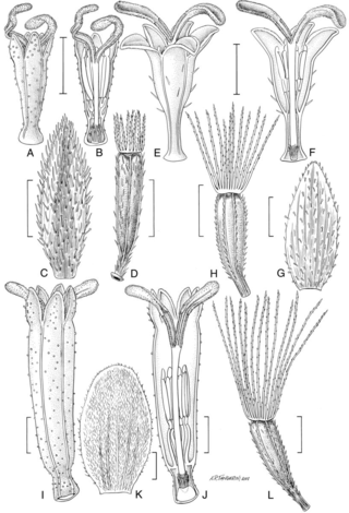 Neocuatrecasia species.  Illustration by Alice Tangerini