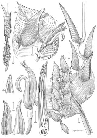 Heliconia samperiana W.J. Kress &J. Betancur