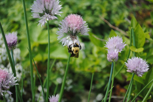 Bumblebee on chives. Photo: Erin Kolski