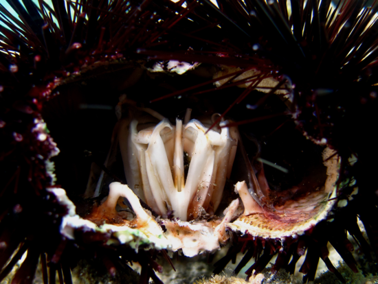 Aristotle's Lantern, the jaws of a sea urchin, photo taken by Philippe Bourjon, via Wiki Commons. Used under license.