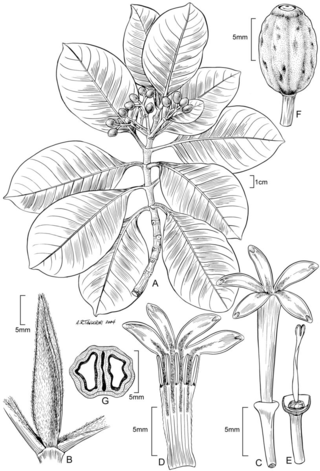 Psychotria uapoensis. Illustration by Alice Tangerini