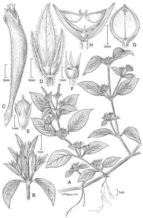 Dicliptera palmariensis.  Illustration by Alice Tangerini