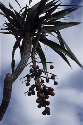 Richard Howard's slide collection includes images such as Pleomele aurea from Hawaii.